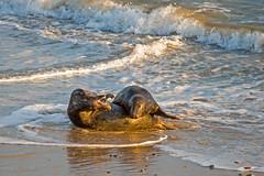 Fun in the Surf (Artisanart) Tags: horsey beach sea norfolk nature wildlife seals