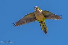 Parakeet (JKmedia) Tags: spain 2017 parakeet bird parrot colourful bluesky avian inflight above feathers wings