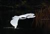 142.jpg (Kico Lopez) Tags: miño lugo aves galicia birds garcetagrande ardeaalba spain rio