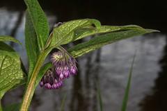 Symphytum officinale, la consoude officinale ou grande consoude. (chug14) Tags: plantae plante flower fleur boraginaceae grandeconsoude consoudeofficinale symphytumofficinale unlimitedphotos