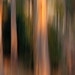 Eucalyptus #2