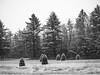 Petite Pines (Greg Jarman) Tags: pines trees small snow winter roadside olympus ep2 bodycap lens 15mm