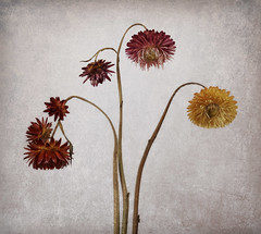 Helichrysum Curves (shawn~white) Tags: 35mm canon6d helichrysumbracteatum shawnwhite strawflower xerochrysumbracteatum beauty charm dried elegance flash floral flower nostalgia pink primelens red retro stilllife studiolight texture vintage yellow