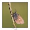 Fadet commun (Mig 74) Tags: 74 lieux fadetcommun flickr animaux nymphalidae satyrinae papillondejour domainedeguidou coenonymphapamphiluslinnaeus1758 procris rhopalocères