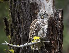 Barred owl in mossy forest habitat (vishalsubramanyan) Tags: owl barredowl nonative raptor birdofprey oregonsoutheroregon prey predator wildlife nature wildlifephotography naturephotography nikon 200500 d500 nikond500