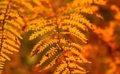 Golden Fern (music_man800) Tags: golden gold colour colours color colorful autumn fall pretty yellow orange red bracken fern focus depth field leaf leaves nature wildlife flora fauna woods woodland forest thorndon country park brentwood essex canon 700d gimp gimp2 edit creative photography outside outdoors crop october uk united kingdom beautiful walk walking miles rural countryside cool air