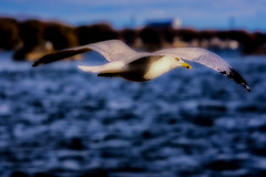 Dream Flight: Luminar2018 (KWPashuk) Tags: nikon d7200 tamron18400mm lightroom luminar kwpashuk kevinpashuk bird seagull flying wildlife urbanwildlife outdoors lasalle park burlington ontario canada nature
