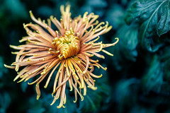 Spider Mum (rg69olds) Tags: 111220117 35mm 6d lauritzengardens nebraska sigma35mmf14artdghsm bloom canon canoneos6d flower flowers omaha plant plants sigma mum chrysanthemum 35mmf14dghsm|a spidermum