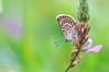 Azuré de l'Ajonc, Petit Argus (-Dop-) Tags: lycaenidae sollièressardières vanoise france plebejusargus