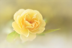 All That You Are (Anna Kwa) Tags: rose flower macro bokeh art nature annakwa nikon d750 afsvrmicronikko105mmf28gifed my love always dreams onlyyou seeing heart soul throughmylens omm destiny fate journey life parsonjames yellow memories
