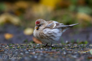 Grote barmsijs, Acanthis flammea, Common redpoll