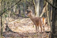 Proud Buck Surveying (jeff_a_goldberg) Tags: lcfpd wildlife whitetaileddeer lakewoodforestpreserve buck lakewood illinois lakecountyforestpreservedepartment nature fall deer animal mundelein unitedstates us