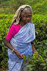 Tea Leaf Picker, Rothschild Tea Estate, Sri Lanka (bfryxell) Tags: pussellawa rothschildteaestate srilanka tealeafpicker teaplant teaplantation worker