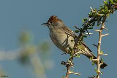 Eurasian blackcap (Dave 5533) Tags: eurasianblackcap songbird bird wild nature outdoor songbirds wildlife naturephotography birdsinisrael birdphotography canoneos1dx ef300mmf28lisiiusm