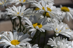 spring (Greg Rohan) Tags: shadow springflowers d750 2017 macro bright yellow white spring nature flowers flower plant