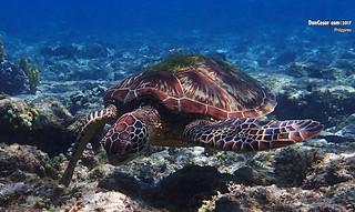 Sea Turtle, Apo Island, Philippines