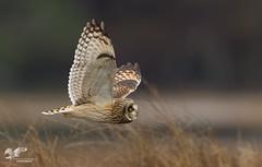 Skimming the Grass (Short-Eared Owl) (The Owl Man) Tags: ngc shortearedowl owl nanaimo estuary hunting flight wingsup