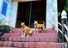 ,, No Sitting Down On The Job ,, (Jon in Thailand) Tags: mama rocky thespirithouse jungle themonkeytemple dog dogs k9 k9s red pink blue burgundy teal yellow green deepjungle nikon nikkor d300 175528 2dogs motherson dogears dogsmile dogtail whitesox steps burgundytile handrail sittingdog funnydog sillydog wrinkledforehead littledoglaughedstories