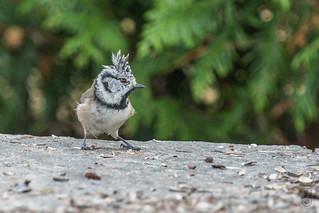 Northern Crested Tit (Lophophanes cristatus)-0103