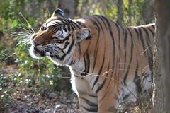 2017-1129 madonna tiger (2)