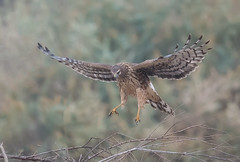 Northern harrier (knobby6) Tags: northernharrier hawk marsh california d5 600mm