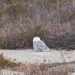 Snowy Owl [92/100] (timsackton) Tags: 100birds animalia aves buboscandiacus chordata metazoa snowyowl strigidae strigiformes animal animals bird birds chordate chordates trueowl