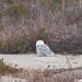 Snowy Owl [92/100]