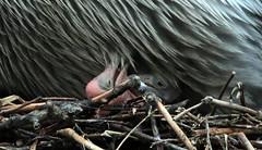 dalmatian pelican   Blijdorp BB2A5514 (j.a.kok) Tags: pelikaan pelican kroeskoppelikaan dalmationpelican vogel pelikaankuiken kuiken pelicanchick bird blijdorp