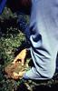 Crops55.tif (NRCS Montana) Tags: crops agronomy clover berseem nodule