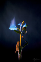"""Burning Flower 4 • <a style=""""font-size:0.8em;"""" href=""""http://www.flickr.com/photos/56830416@N05/38828040451/"""" target=""""_blank"""">View on Flickr</a>"""