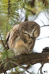 ''Session beauté! Petite nyctale-Nothern-Saw-whet owl (pascaleforest) Tags: animal bird oiseau passion owl nikon nature hibou faune wild wildlife québec canada arbre wood