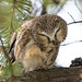 ''Session beauté! Petite nyctale-Nothern-Saw-whet owl