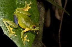 Red-Eyed Tree Frog (Litoria chloris) (Gus McNab) Tags: