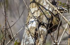 Trepatroncos bigotudo (Adolfo Montes) Tags: trepatroncos xiphorhynchus flavigaster