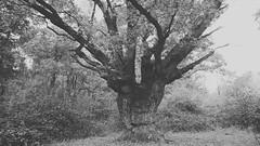 Ashtead oak (Daniel James Greenwood) Tags: nokialumia mobilephonephotos danielgreenwood danielgreenwoodphotography