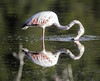 IMG_1900 (ibzsierra) Tags: tamronsp150600mmf563divcusdg2a022 ibiza eivissa baleares canon 7d tameron g2 150600 ave bird oiseau flamenco flamingo salinas parque natural