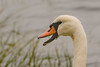 Mute Swan 2 (EHPett) Tags: cygnusolor capecod orleans massachusetts closeup bird waterfowl swan bill grass water inlet animal wildlife