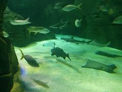 Fish, shark and ray #toronto #ripleysaquarium #aquarium #fish #shark #sawfish #ray #latergram (randyfmcdonald) Tags: fish ripleysaquarium latergram shark ray aquarium toronto sawfish