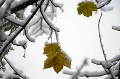 Esimene lumi (anuwintschalek) Tags: nikond7000 d7k 18140vr austria niederösterreich wienerneustadt talv winter november 2017 hommik morgen morning schnee snow esimenelumi lumi valge white weiss lörts schneeregen märg wet nass aed garden garten home leht blatt leaf