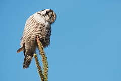 Northern Hawk Owl Surnia ulula (janmangorfagerland) Tags: animal birds bird birdphoto bokeh birdsgallery birding birdsofnorway blue birdswildlifenaturenikon300mmvrii2 colours coast d800e dephtoffield dof 300mmvrii28g exposure evening fagerland field fugler flickr fuglebilder fauna gallery green haukugle islands nikon wildlife nikkor nikond800e nikon300mmvrii28g jan janfagerland karmøy light mangor norway nature norge natur outdoor ornithology photography photo planet plant supertele sun sky tree spruce ugle ulula vr white wood owl coth5