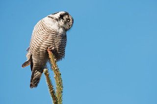 Northern Hawk Owl Surnia ulula
