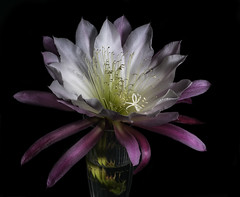 Pink And White Epiphyllum In The Light (Bill Gracey 17 Million Views) Tags: epi epiphyllum plant fleur flower flor offcameraflash lastoliteezbox softbox yongnuo yongnuorf603n nature naturalbeauty color colorful pink white blackbackground macrolens