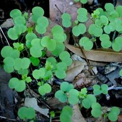 *Geranium robertianum, HERB ROBERT. Seedlings (openspacer) Tags: geraniaceae geranium jasperridgebiologicalpreserve jrbp nonnative seedling