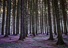 _MG_7143ir (ronniefleming@btinternet.com) Tags: lilac scottishwoodland 1635mmcanon lserieslens auchterarder visitscotland walkhighlands perthshire perthkinross