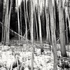 ICM (Stefano Rugolo) Tags: stefanorugolo pentax k5 pentaxk5 kepcorautowideanglemc28mm128 abstract icm forest tree monochrome wood