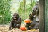 2017-11-05-09h53m45.BL7R1337 (A.J. Haverkamp) Tags: canonef100400mmf4556lisiiusmlens shae shindy amsterdam noordholland netherlands zoo dierentuin httpwwwartisnl artis thenetherlands gorilla sindy pobrotterdamthenetherlands dob03061985 pobamsterdamthenetherlands dob21012016 pompoen pumpkin nl