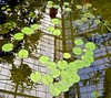 Conservatory of Flowers, Golden Gate Park, water lilies, roof window reflections, (David McSpadden) Tags: conservatoryofflowers goldengatepark roofwindowreflections waterlilies ca usa