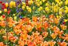 9051-2Spring16 (Robin Constable Hanson) Tags: blue orange delphinium flowers green horizontal spring tulips