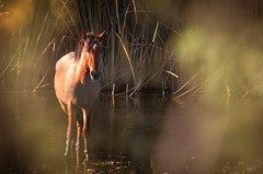 Salt River Horse (utski7) Tags: fall2017 saltriver arizona colors water wildhorse mustang oldwest nature landscape goldenlight evening