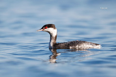 Horned Grebe (Mike Veltri) Tags: birds avian grebe hornedgrebe nature photography wild november burlington ontario canada